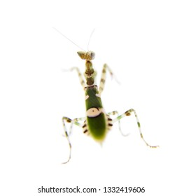 Indian flower praying mantis, Creobroter gemmatus, on white