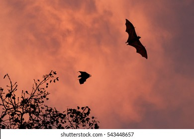Indian flying fox, Pteropus giganteus silhouette. Greater Indian fruit bats flying against red colored thunderclouds. Sri Lanka wildlife.