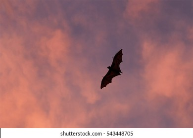 Indian flying fox, Pteropus giganteus. Greater Indian fruit bat silhouette flying against red colored thunderclouds. Sri Lanka wildlife.