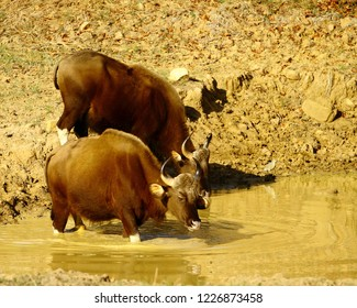Indian Gaurs or Bison in Kanha National Park of India