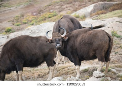 Indian Gaurs with sharp curved horns
