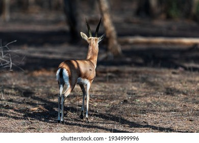 Indian Gazelle in its natural habitat at Ranthambore National Park...