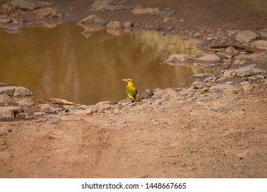 Indian golden oriole, Oriolus kundoo at Ranthambore in Rajasthan, India.
