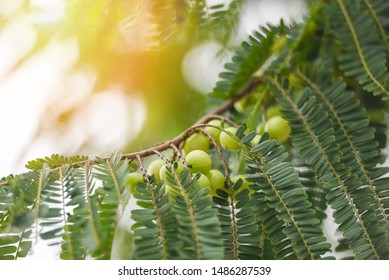 Indian Gooseberries or Amla fruit on tree with green leaf / Phyllanthus emblica traditional Indian gooseberry tree for Ayurvedic herbal medicines and snack