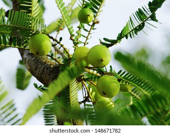 Indian gooseberry (Phyllanthus emblica), also called aamla in Hindi. Indian gooseberry is an essential ingredient of the traditional Indian Ayurvedic (herbal) medicines.