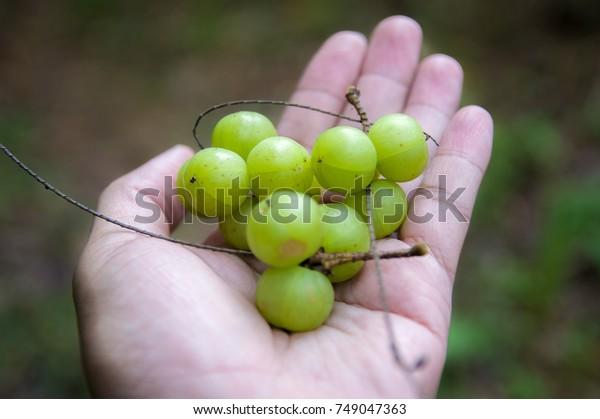 Indian Gooseberry, Phyllanthus emblica, Makhampom,
