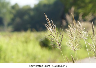Indian gooseberry plant or King ranch bluestem, Bothriochloa ischaemum