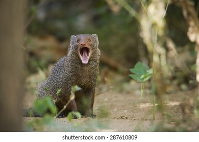 Indian gray mongoose in Minneriya national park, Sri Lanka ; specie Herpestes edwardsii
