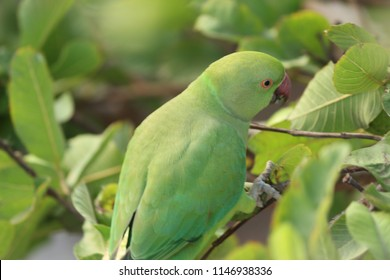 Indian green parrot on guava tree