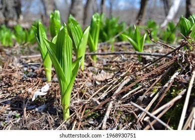 Indian Hellebore, Green false Hellebore, Veratrum Viride. Early spring green leafs