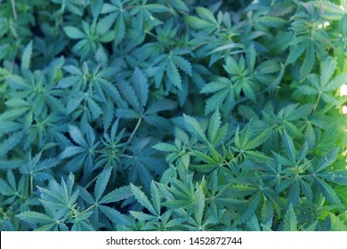 Indian hemp, marijuana (Cannabis sativa subsp. indica) narcotic plant grows as weed (young spring) throughout foothills of Himalayas and plains, in village Kasol as drug distribution center