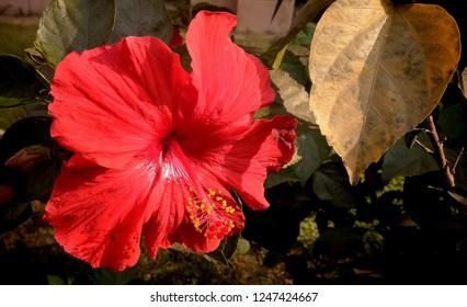 Indian Hibiscus Flower Images, Stock Photos & Vectors | Shutterstock