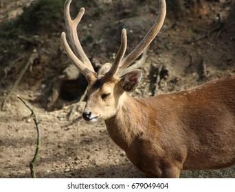 The Indian hog deer (Hyelaphus porcinus)