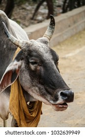 Indian holy cow with a bandanna tied in cowboy style