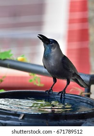Indian house crow (Corvus splendens) drinking water from a tank that is used to harvest rainwater. Water day.