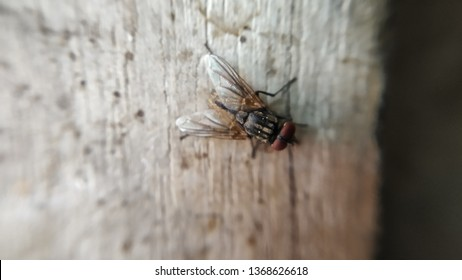 Indian Housefly Closeup Isolated Photo taken with Wall