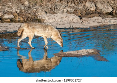 Indian jackal in Ranthambore National Park in Rajasthan, India