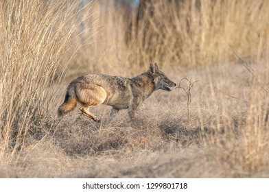 Indian jackal running in Ranthambore National Park in Rajasthan, India