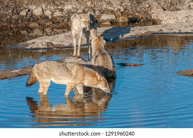 Indian jackals in Ranthambore National Park in Rajasthan, India
