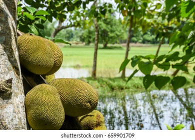 Indian Jack-fruit
