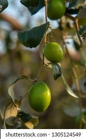 Indian Jujube or ber or berry (Ziziphus mauritiana) at field
