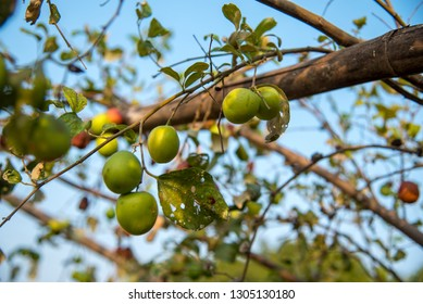 Indian Jujube or ber or berry (Ziziphus mauritiana) on tree