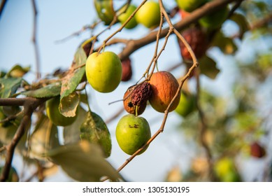 Indian Jujube or ber or berry (Ziziphus mauritiana) on tree