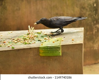 Indian jungle crow eating sacred mixture of boiled rice, ghee, jaggery, fruits and vegetables (Hindus offer Bali - a ritual for the departed ancestors). Crows represent the souls of the dead.