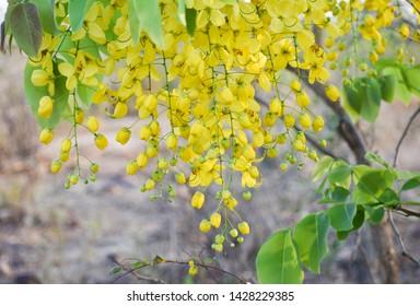 Indian Laburnum (Cassia Fistula) for desktop