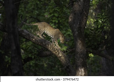 Indian Leopard at its habitat - in Kanha Tiger Reserve, Madhya Pradesh, India