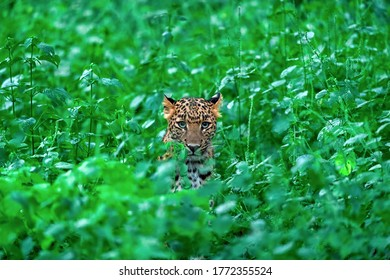 Indian Leopard from Jhalana Forest, India
