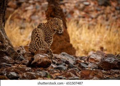 Indian leopard in the nature habitat. Leopard wet in the rain. Wildlife scene with danger animal. Hot summer in Rajasthan, India. Cold rocks with beautiful indian leopard, Panthera pardus fusca