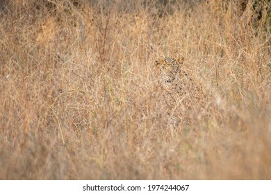 Indian leopard or panther camouflage in grass at ranthambore national park india