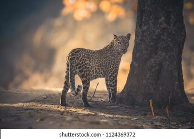 Indian leopard (Panthera pardus fusca) at Kanha Tiger Reserve, Madhya Pradesh, India