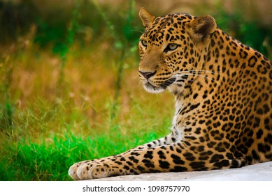 The Indian leopard is a leopard subspecies widely distributed on the Indian subcontinen.