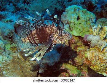 Indian lionfish (Pterois miles).