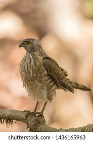 Indian little banded goshawk bird