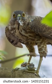 Indian little banded goshawk eagle