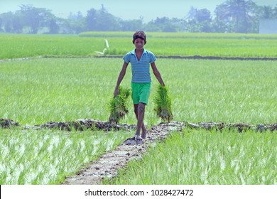 Indian Little Boy Holding  Rice Plants