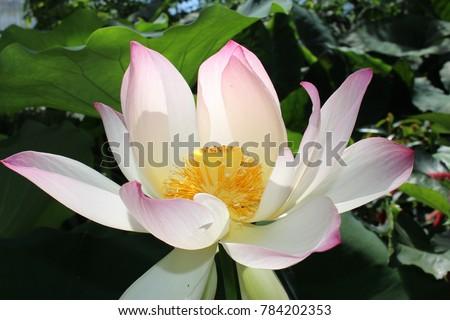 Indian lotus flower or sacred lotus stock photo edit now 784202353 indian lotus flower or sacred lotus bean of india egyptian bean mightylinksfo