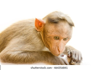 Indian macaques, bonnet macaques, or (lat. Macaca radiata). Habitat types mountain forests of tropical India, sometimes go to the cities. one animal is a monkey close up looking down