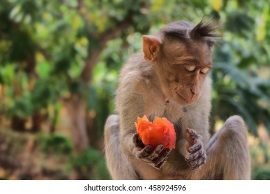 Indian macaques lat. Macaca radiata. wild animal primates in a tropical forest. One monkey feeds on tree close-up
