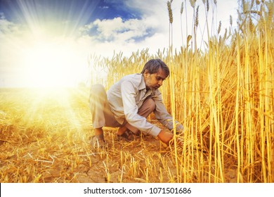 Indian man Cutting wheat with sickle and then stooking ; Haryana ; India