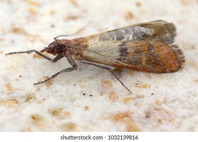 Indian mealmoth or Indianmeal moth Plodia interpunctella of a pyraloid moth from the family Pyralidae is common pest of stored products and pest of food in homes