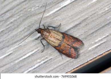 Indian mealmoth or Indianmeal moth Plodia interpunctella of a pyraloid moth of the family Pyralidae is common pest of stored products and pest of food in homes