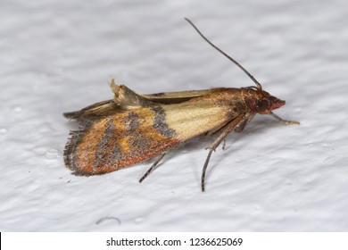 Indian mealmoth Plodia interpunctella of a pyraloid moth of the family Pyralidae is common pest of stored products and pest of food in homes. Moth on wall.