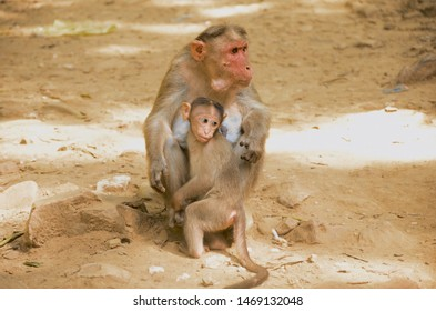 Indian Monkey beautiful pic mother
