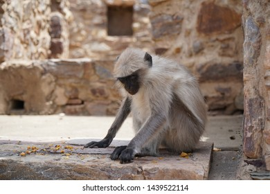 Indian monkey. black monkey portrait