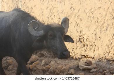 Murrah Buffalo Images, Stock Photos & Vectors | Shutterstock