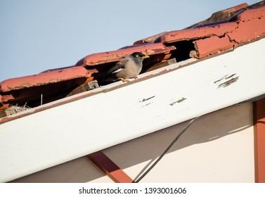 Indian Myna, Acridotheres tristis, nesting in hole in eaves of house under broken roof tiles